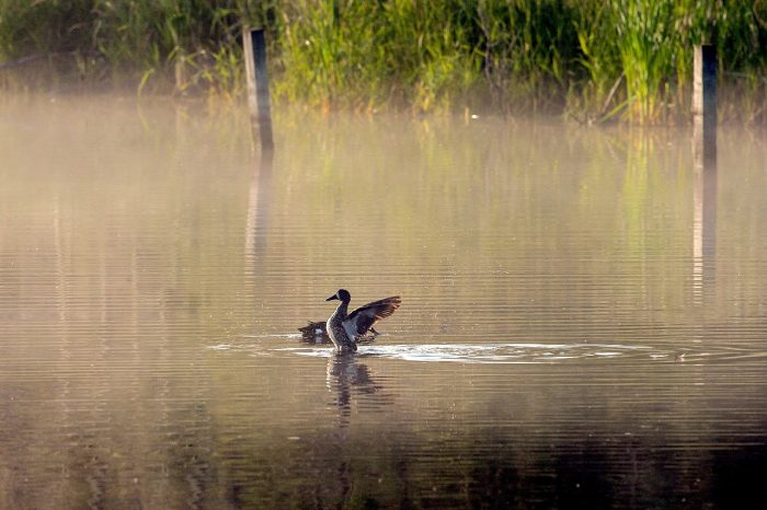 From DUC's Giving Tuesday Now campaign: a blue-winged teal stretches its wings on a foggy wetland.