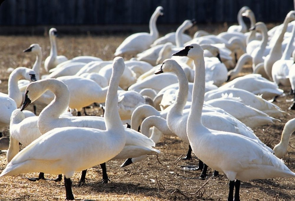 A world-class viewing area for tundra swans on their way north in spring.