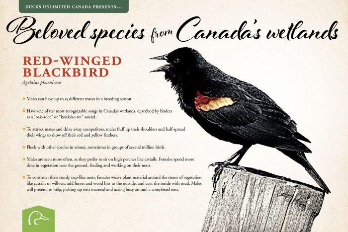 Red-winged blackbird; scientific name: Agelaius phoeniceus.