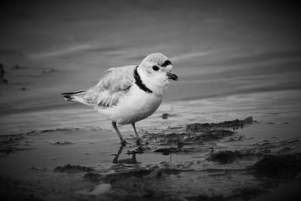The piping plover is 1 of more than 50 at-risk species that breeds in the Prairie Pothole Region.