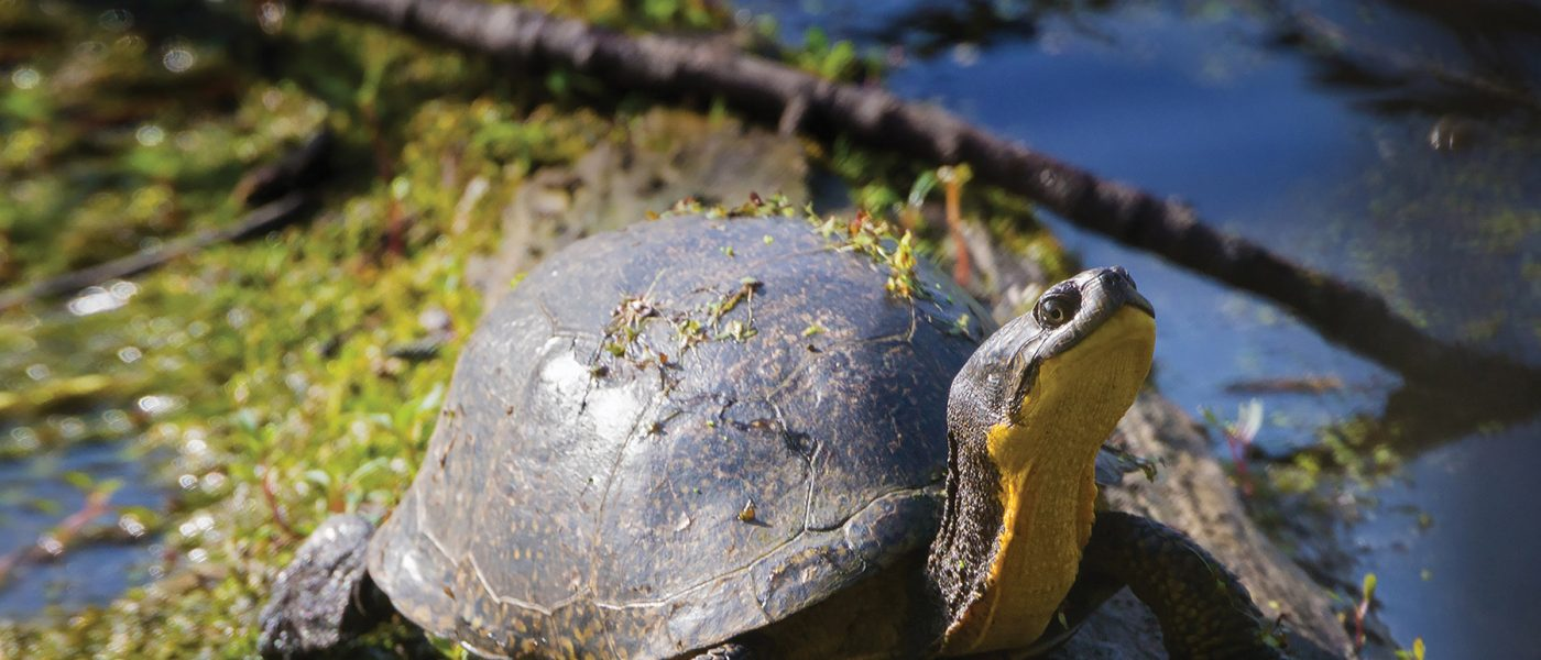 The Blanding's turtle, known for its yellow neck and the smile-like curvature of its mouth, is an example of how humans and nature can diverge together for good.