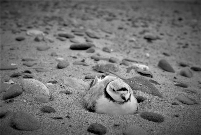 Piping plovers nest above the normal high-water mark on sandy or gravel-sand beaches.