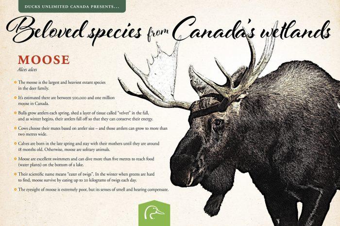 Moose; scientific name: Alces alces.