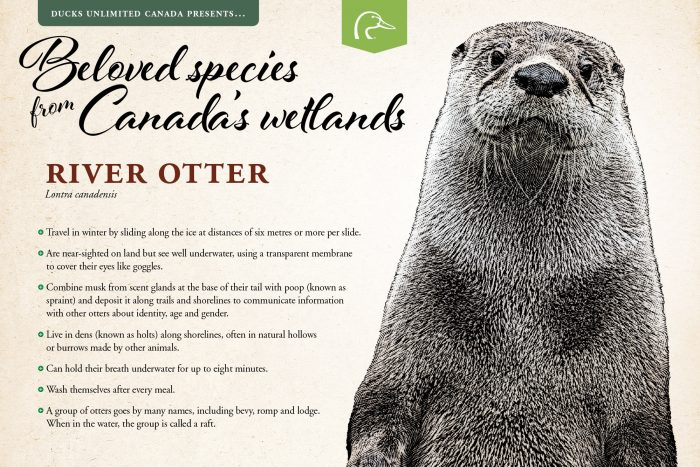 River otter; scientific name: Lontra canadensis.