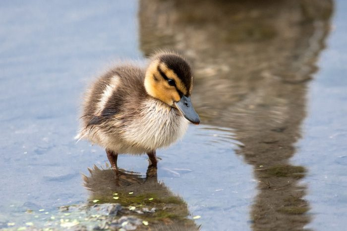From DUC's Giving Tuesday Now campaign: a duckling wades as its mother watches nearby.