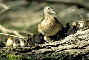 Dry habitat conditions may dampen duck production