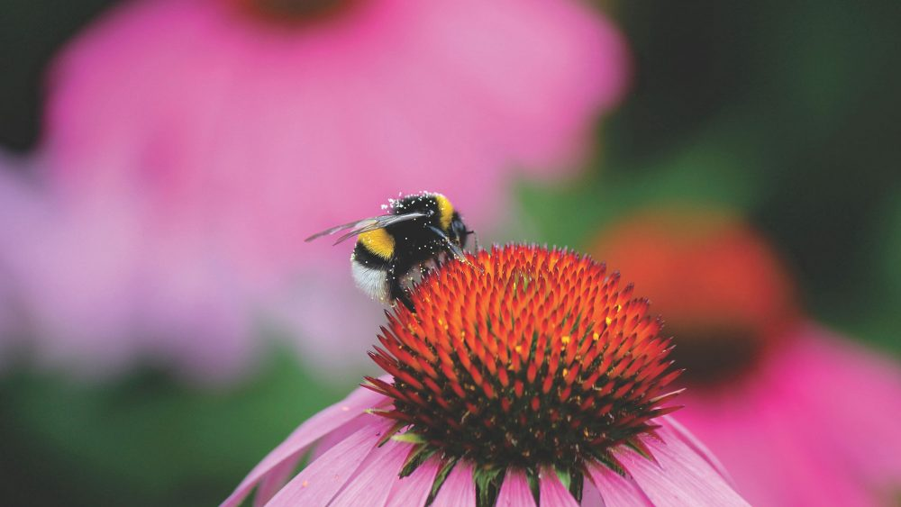 Small but mighty, invertebrates like the bumblebee are tied to the fate of our wetlands