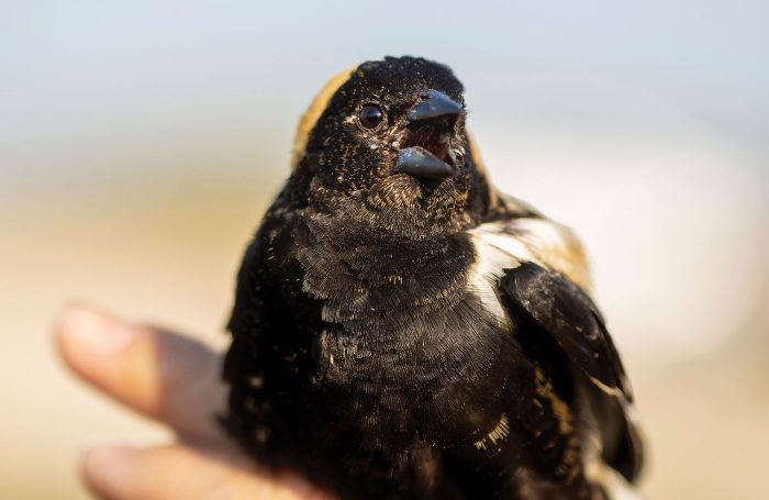 A noisy male bobolink chastises his captors as he awaits release. Listed as a species of concern in parts of Canada, bobolinks nest in fields and uplands surrounding Oak Hammock Marsh and other DUC wetland projects.