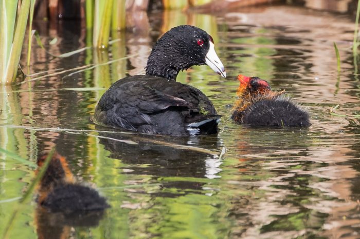 """""""When I really registered what American coot chicks look like, I absolutely adored them because they look like angry little aliens,"""" says Leigh."""