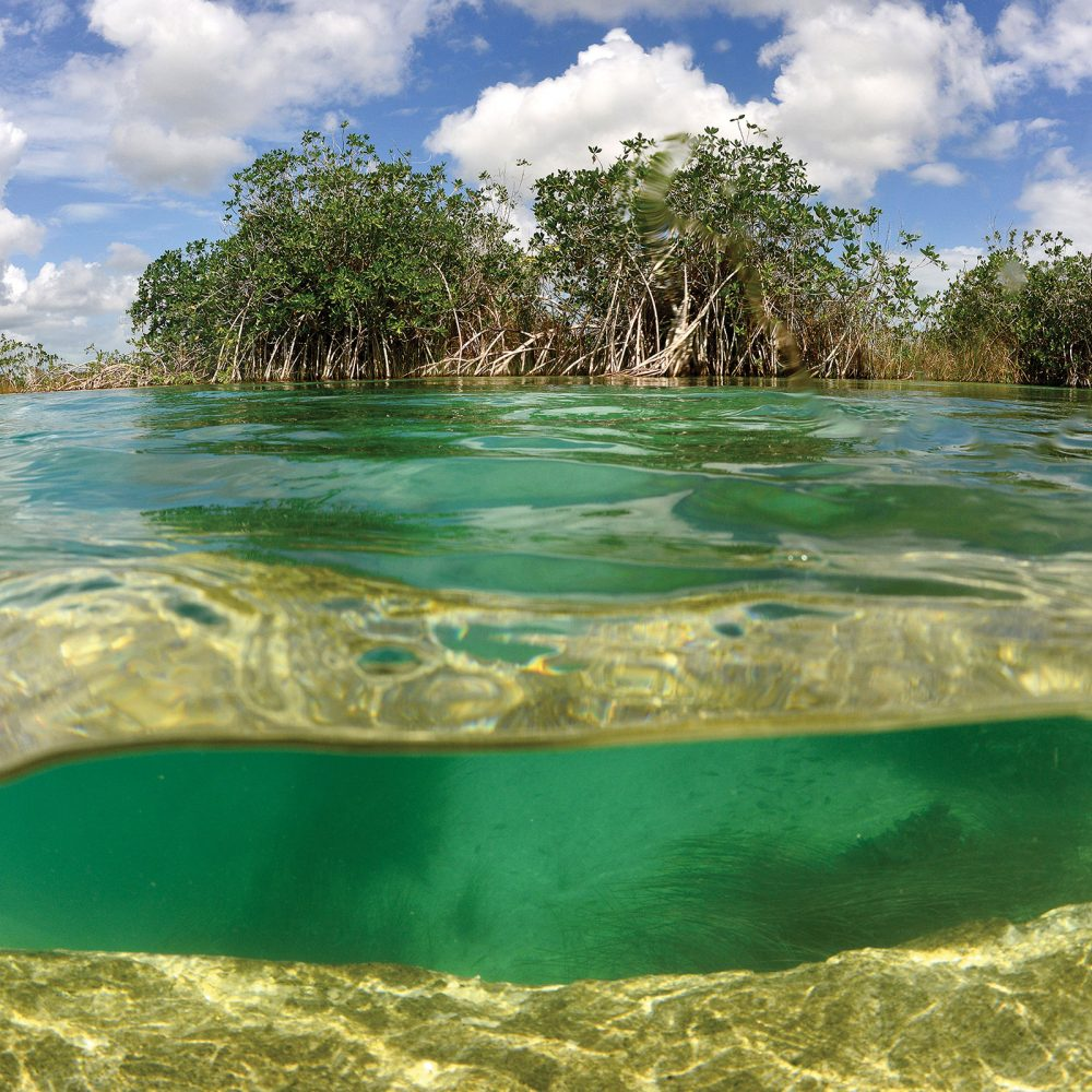 The deep, complex root systems of mangrove trees and shrubs anchor swamps full of rich, organic matter that produce food for ducks and other wildlife.
