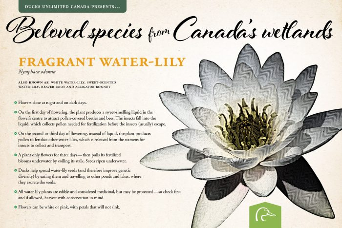 Fragrant water-lily; scientific name: Nymphaeaodorata.