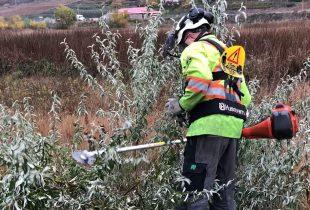 Fighting Russian Olive in the Okanagan