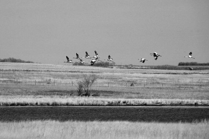 A rare sight: a whooping crane flock flies over a prairie wetland.