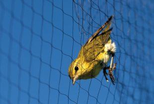 Songbird Banding at Oak Hammock Marsh