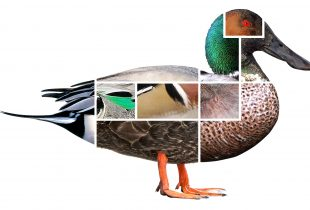 Ducks from a distance: helpful hints for identification in the wild