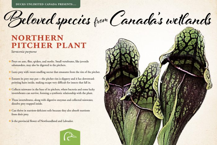 Northern pitcher plant; scientific name: Sarracenia purpurea.