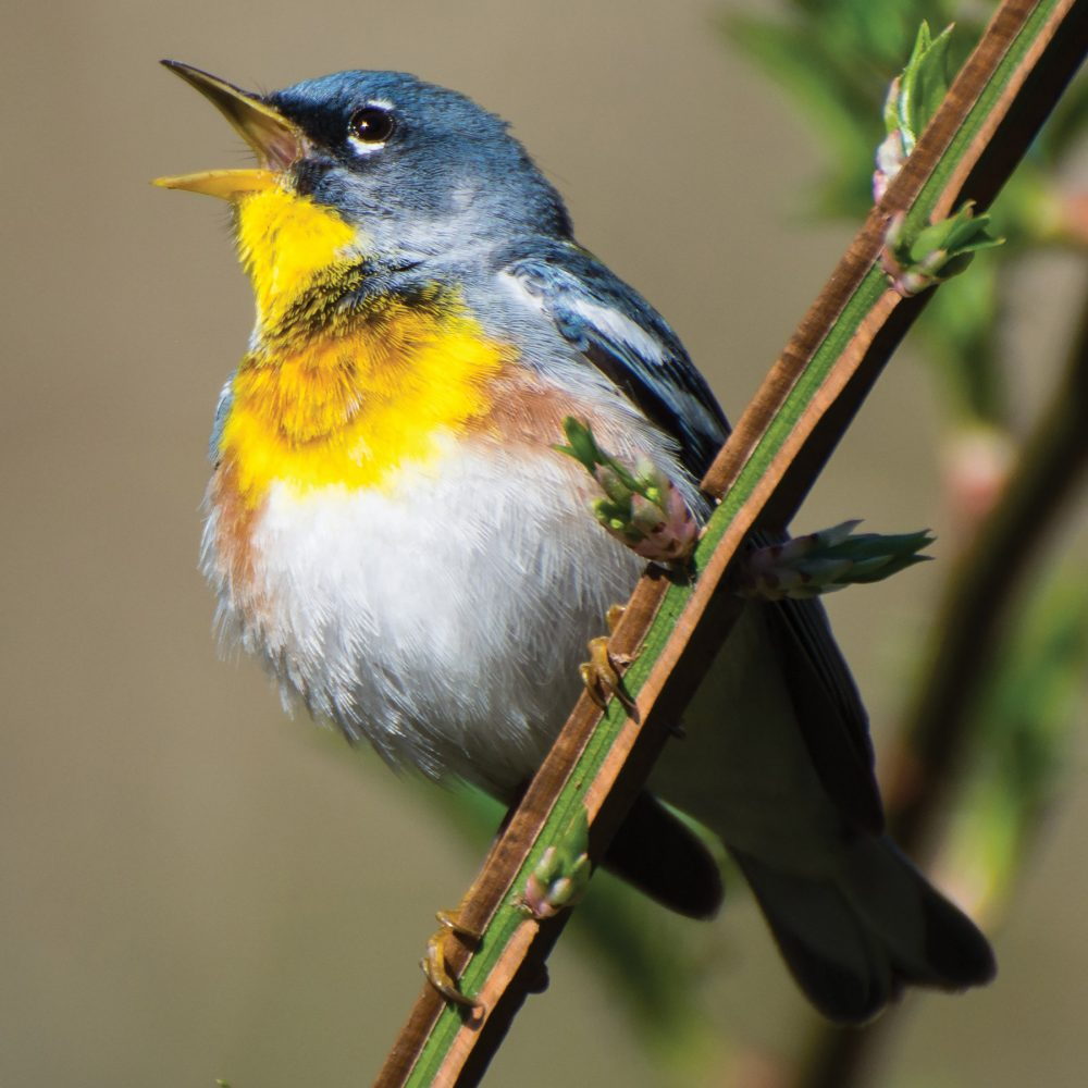 In a world that's quieter, songbirds like the northern parula fill the void.
