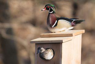 Wood Duck Nest Boxes