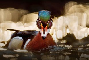 Waterfowl at your service: how ducks and geese help our environment