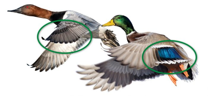 Left to right: primary feathers are found on the wing furthest from the body; secondary feathers are shorter flight feathers anchored to the