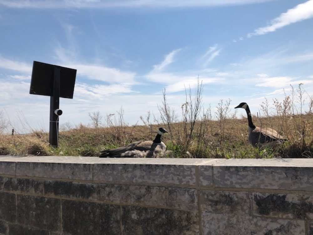 This Canada goose pair decided to build their nest on the award-winning green roof of DUC's national offices and site of the Oak Hammock Marsh Interpretive Centre. The male gander will stand watch over his mate while she incubates her clutch of eight eggs.