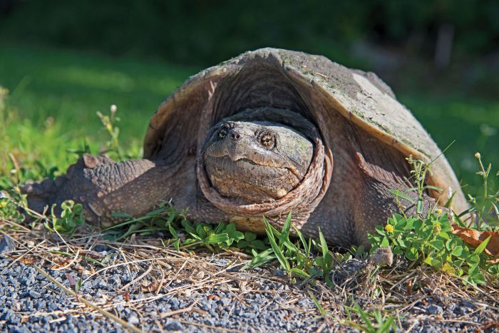 Wildlife like snapping turtles rely on habitat at Bill Cooper's marsh.