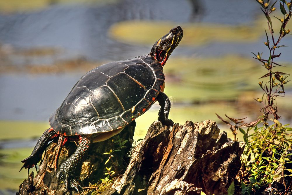 A turtle in the sun.