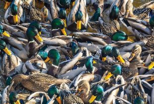 Mallards and measurement