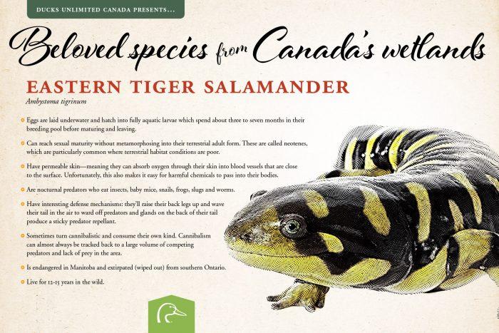 Eastern tiger salamander; scientific name: Ambystoma tigrinum.