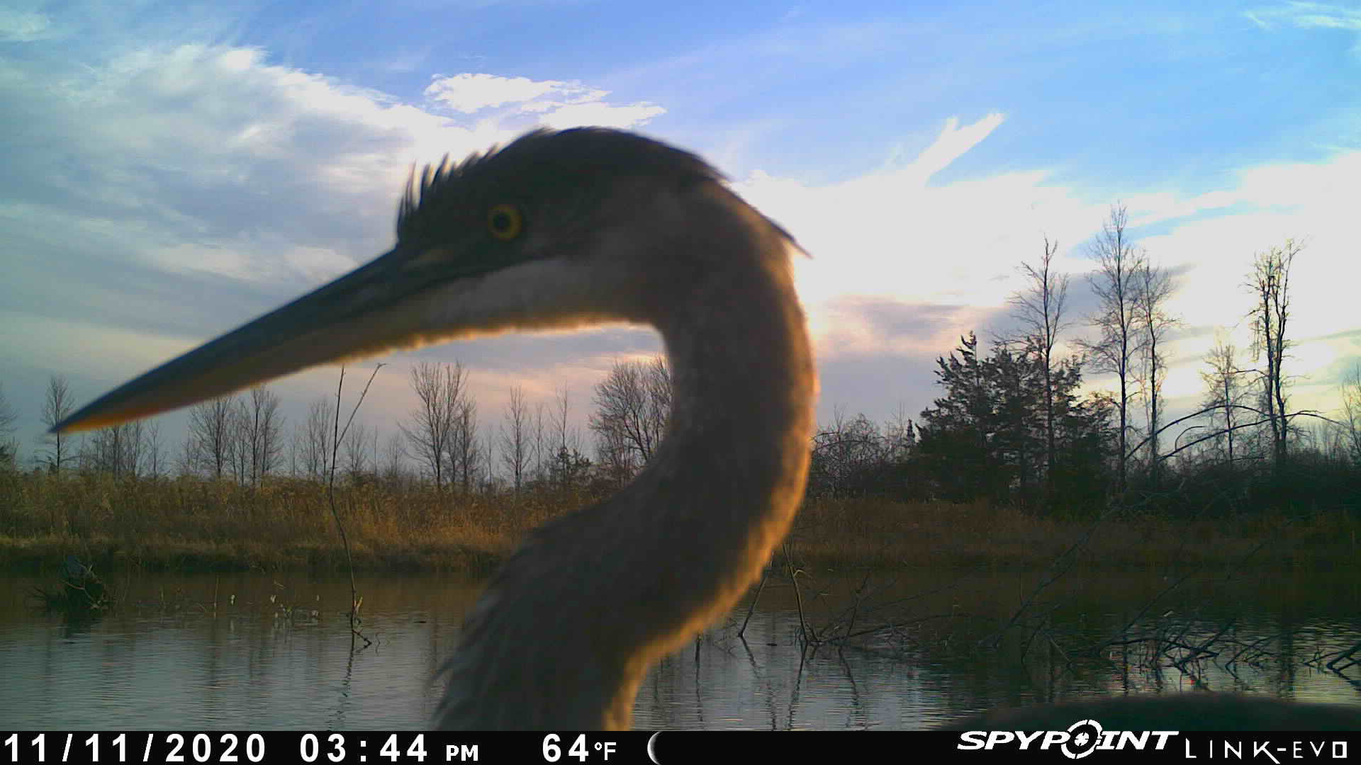 Image of great blue heron from trail camera