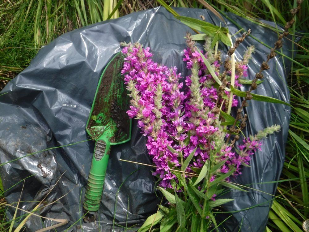 Purple loosestrife dug out of Corner Brook Marsh in Newfoundland.
