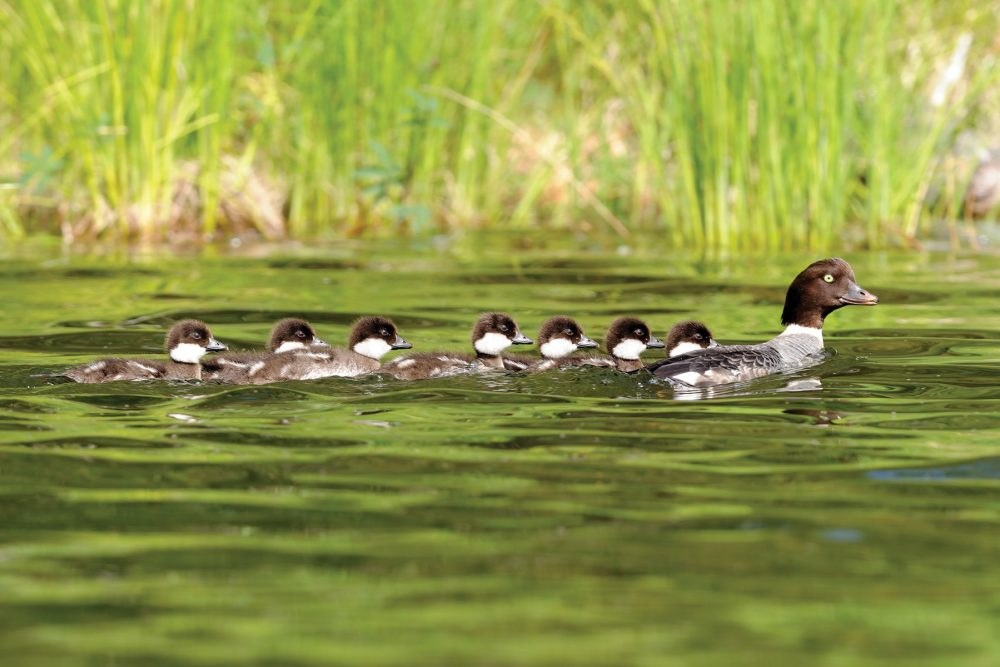 More than 60 per cent of the world's population of breeding Barrow's goldeneye inhabit the Cariboo-Chilcotin. Home to ranches and wetlands, this rugged landscape plays a critical role in DUC's conservation efforts. Waterfowl, sandhill cranes and American white pelicans migrate, winter, stage or breed here.