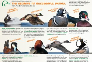The secrets to successful dating, from North America's drakes