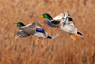 2020 Waterfowl Breeding Population and Habitat Survey Cancelled