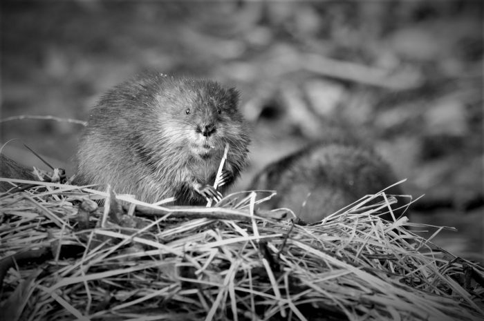 Wetland size matters - larger wetlands support larger mammals, like muskrat, while smaller wetlands are a safe place for tadpoles and other small creatures to avoid predators.