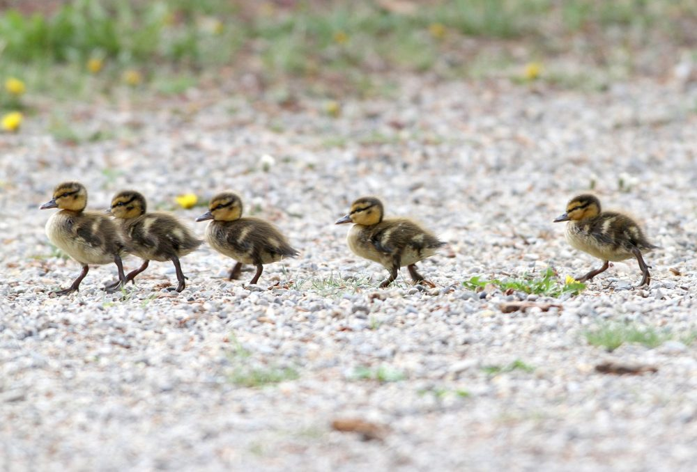 Spring ducklings on the move!
