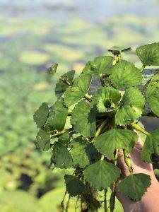 European water chestnut © Ducks Unlimited Canada
