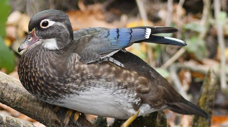 Watch inside a duck's nest box