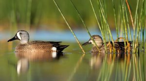 blue-winged teal pair on the water