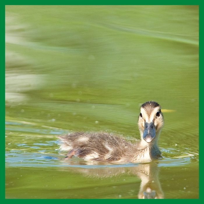Ducklings are quick learners and hit the water shortly after they hatch.