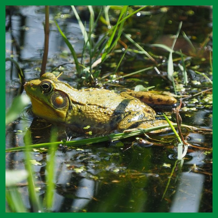 A male green frog swimming in really cold spring water. Brrrr.