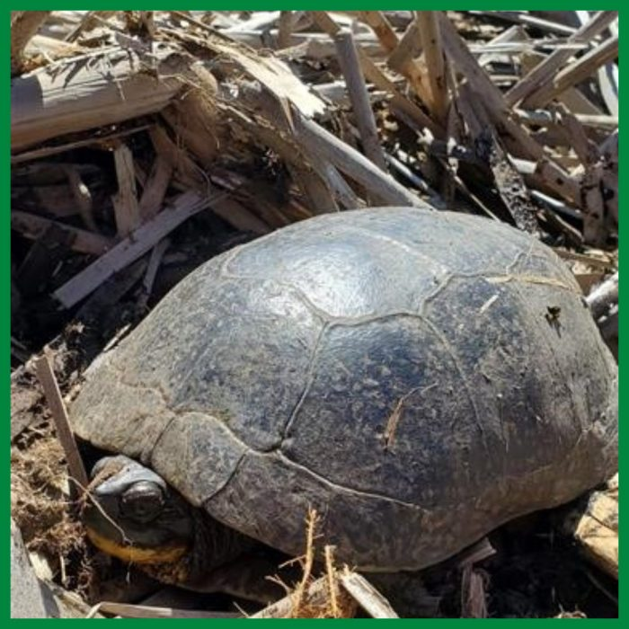 Blanding's turtles look like walking army helmets and can be found in southern, central and eastern Ontario.