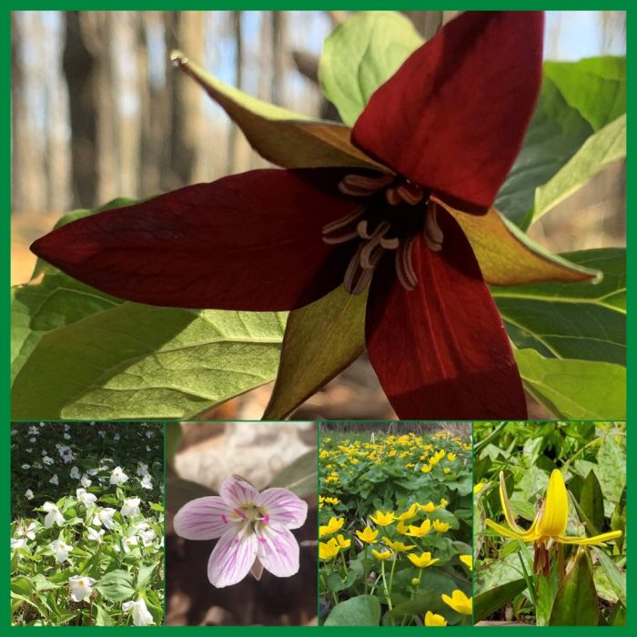 Spring wildflowers: (Top, L-R) red and white trilliums, spring beauty, marsh marigold and trout lily