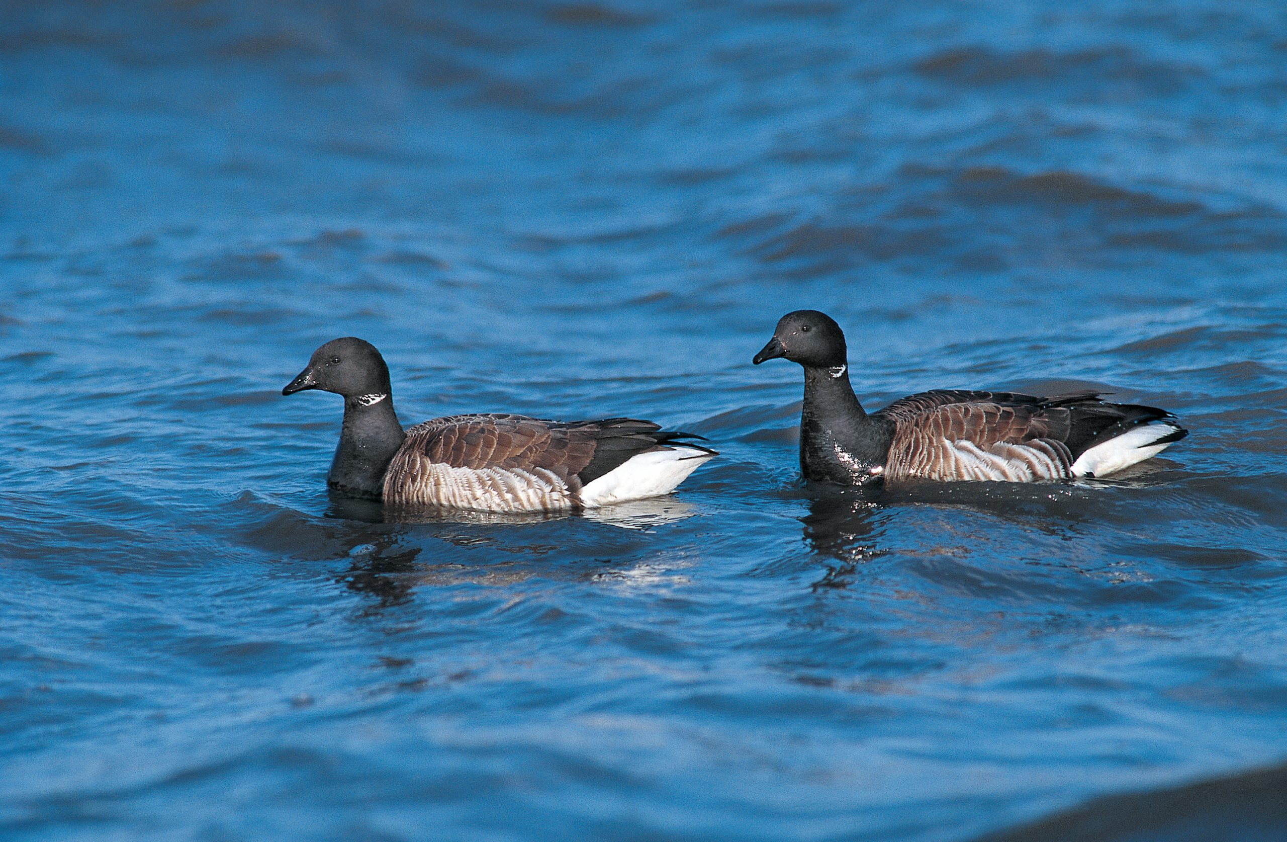 Two brant swimming