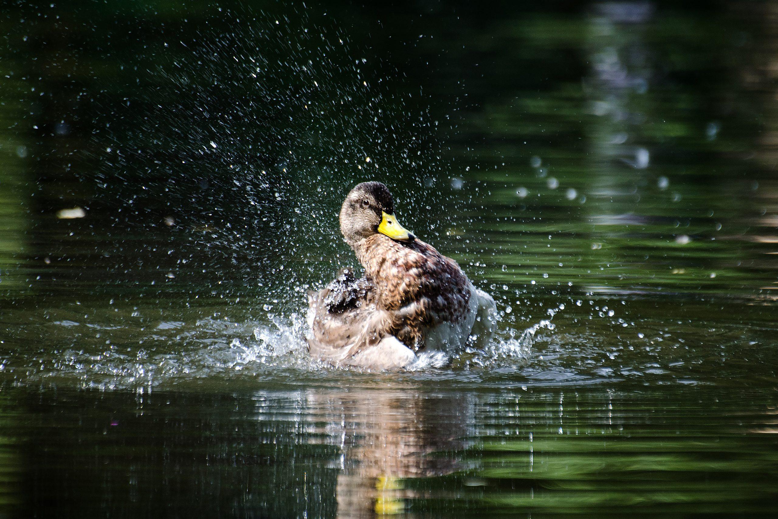 American black duck, bathing.