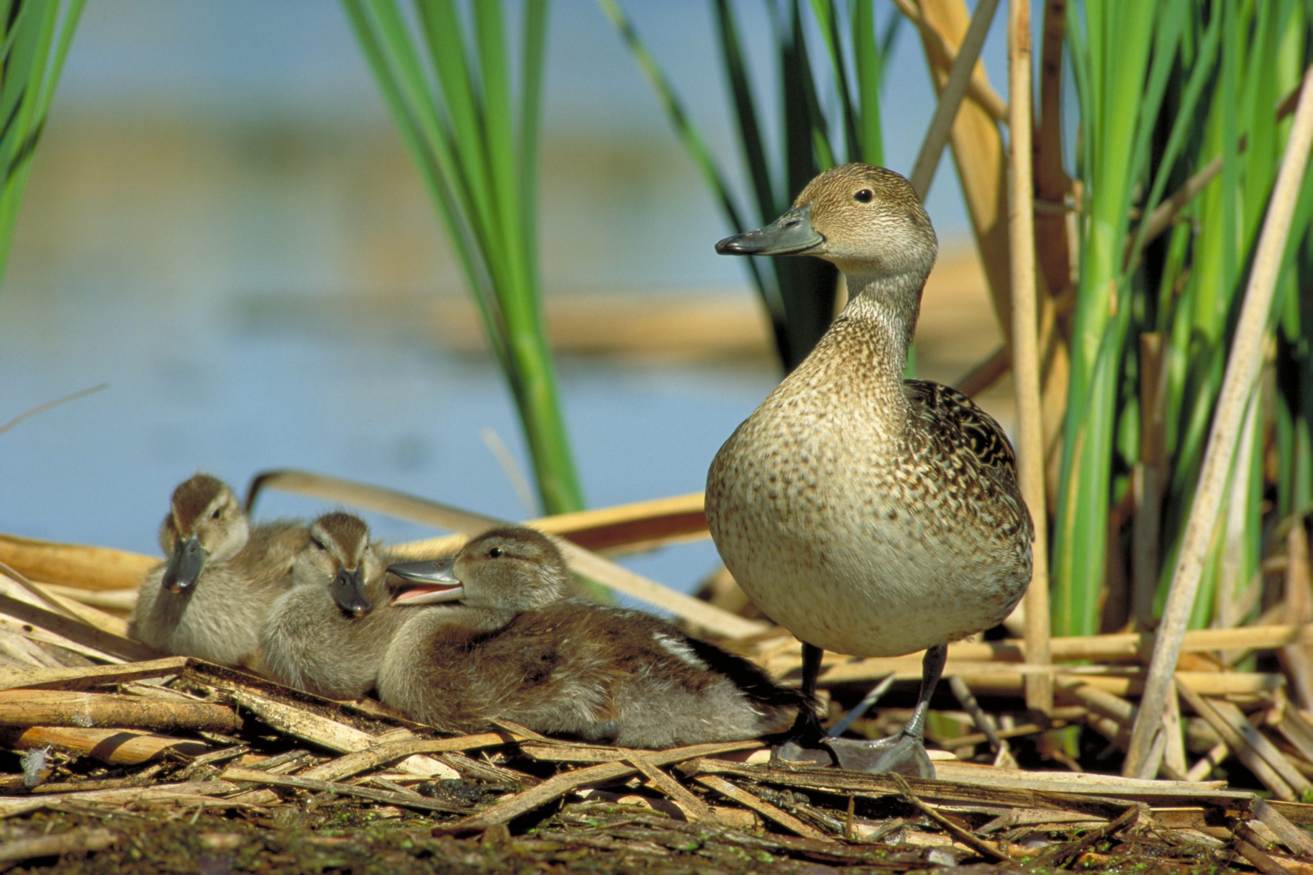 Northern pintaill hen with brood near wetland