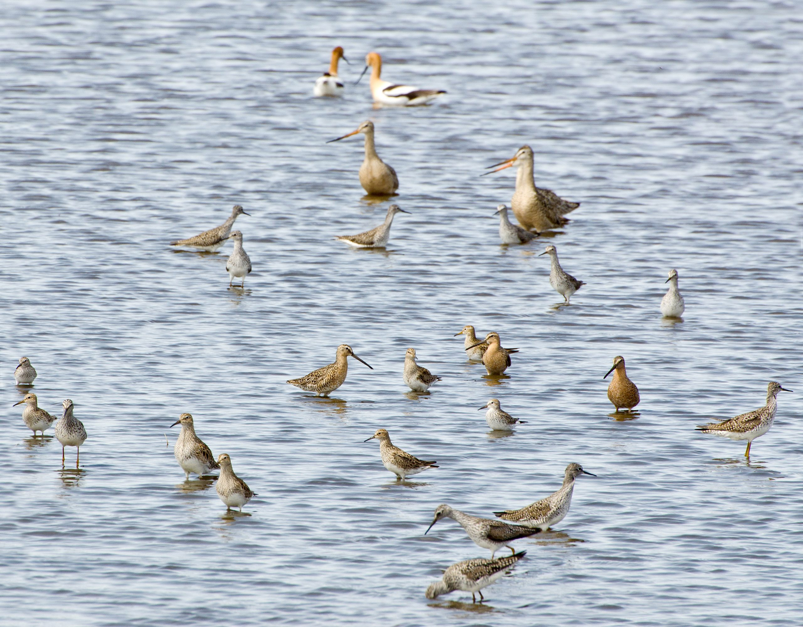 Sandpipers and godwits and dowitchers