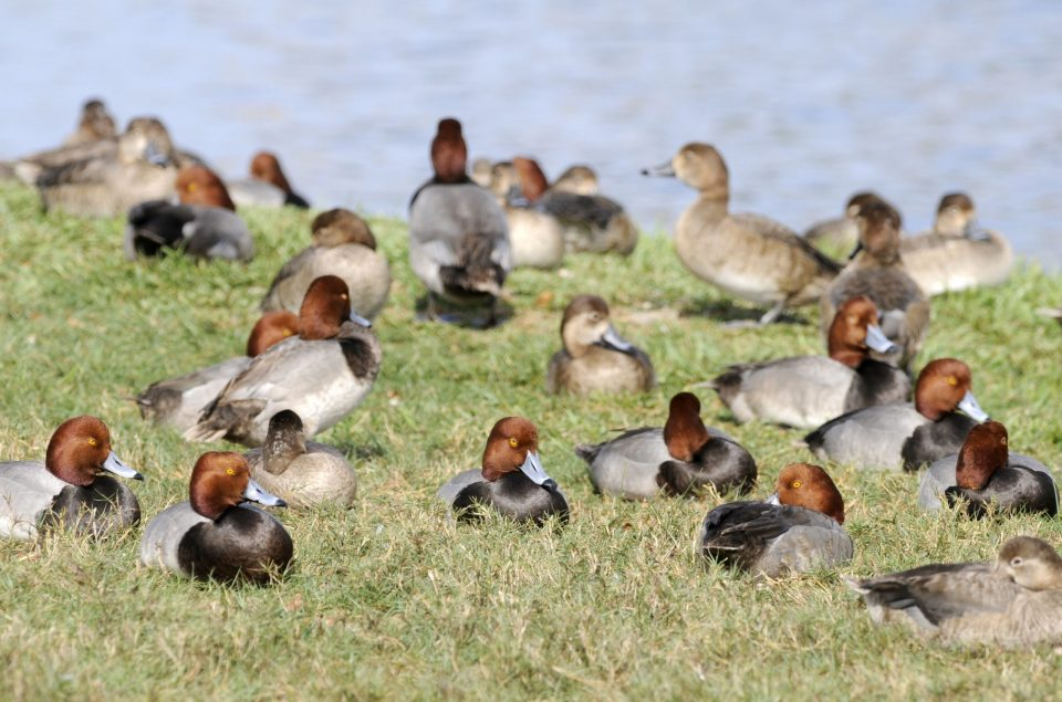 Congregation of redheads, loafing on grass.