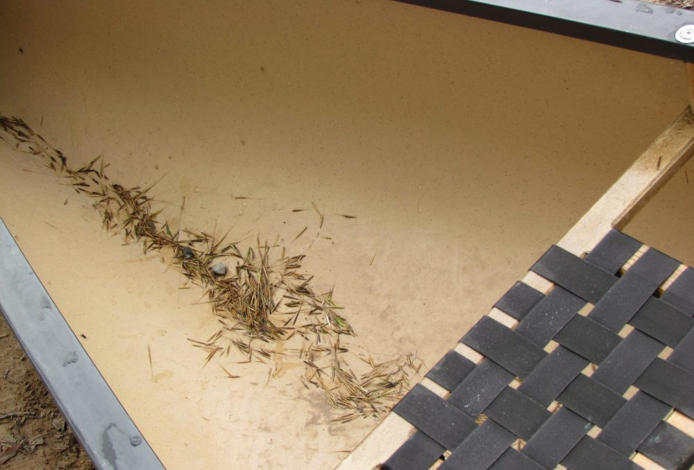 Wild rice that has been knocked into the bottom of a canoe during harvest.