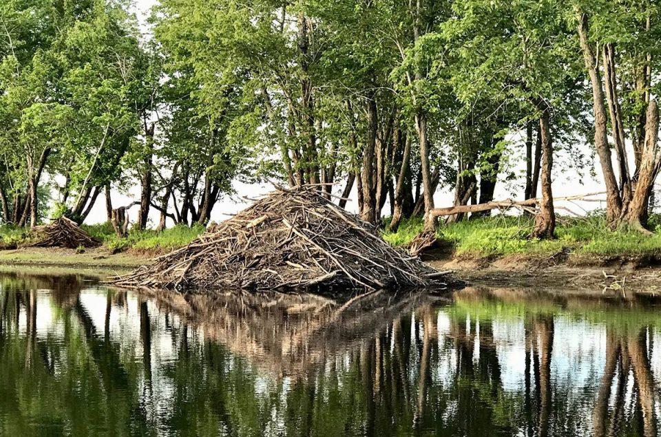 beaver dam on wolastoq